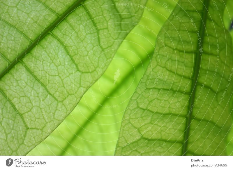 Green cells (3) Life Nature Houseplant Translucent Vessel leaf structure Transparent overlap pattern leaves Colour photo Interior shot Structures and shapes