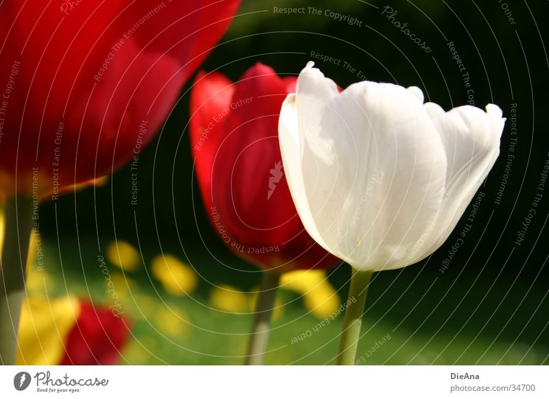 The white tulip Flower Tulip Red Yellow White Grass Green Spring April Garden Plant Blossoming Beautiful weather Nature
