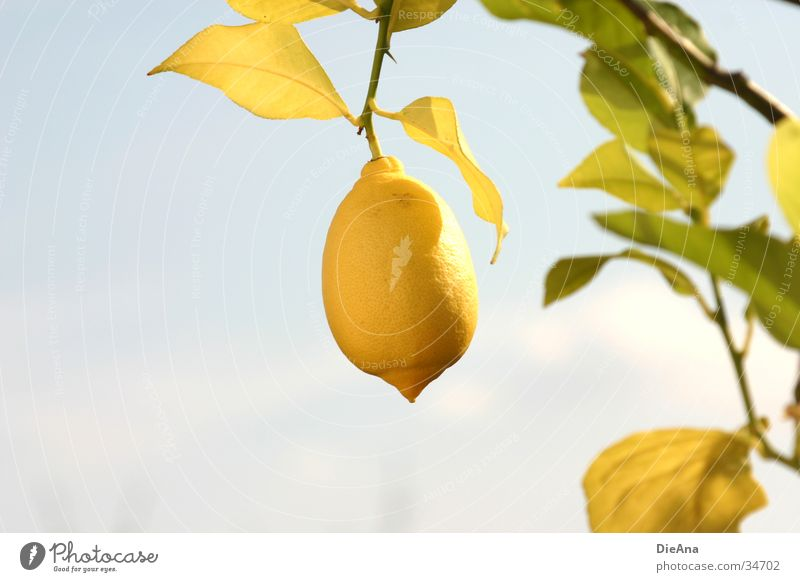Sky Green Blue Plant Leaf Yellow Fruit Beautiful weather Lemon Citrus fruits