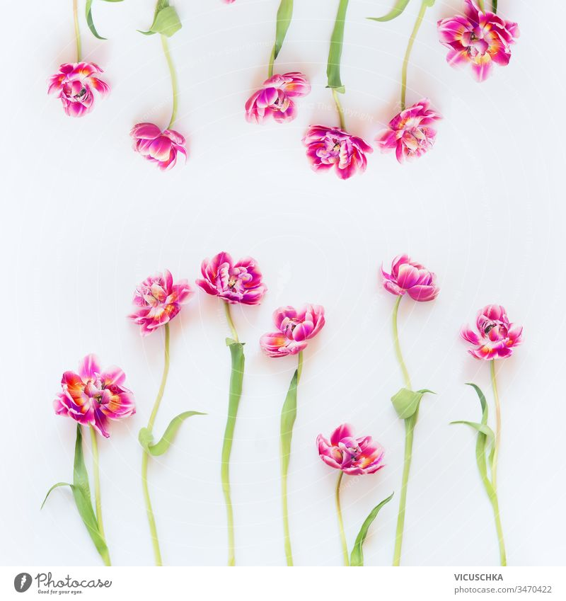 Lovely pink tulips frame composition on white background. Top view. Flat lay. Pretty layout. Abstract springtime. Mothers day or beauty lovely top view flat lay