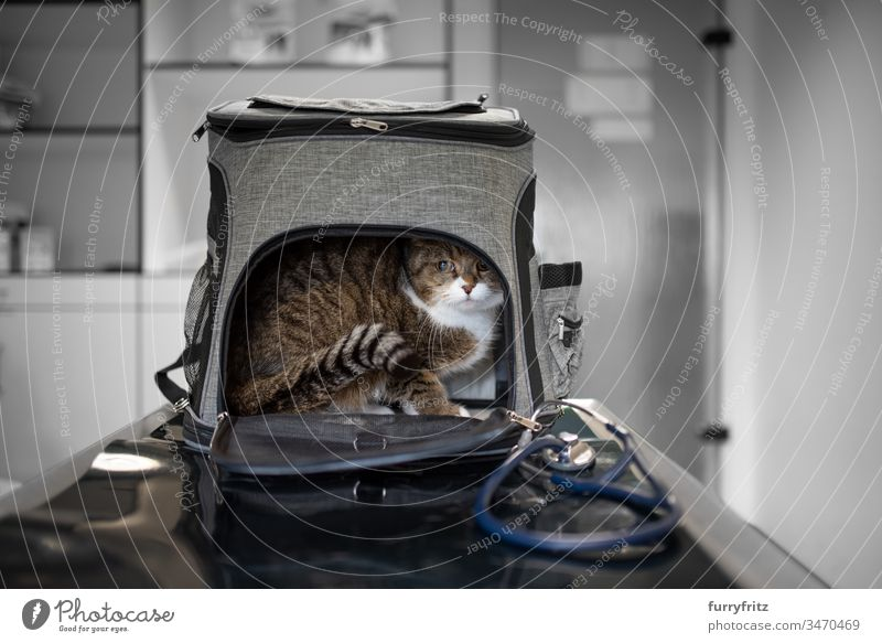Cat hides in transport bag at the vet test Health care Veterinarian Sick clinic Animal Doctor Stethoscope med veterinary surgeon White purebred cat pets