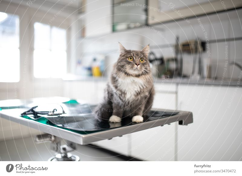 Maine Coon cat sitting on the operating table at the vet test Health care Veterinarian Sick clinic Animal Doctor med veterinary surgeon White purebred cat pets