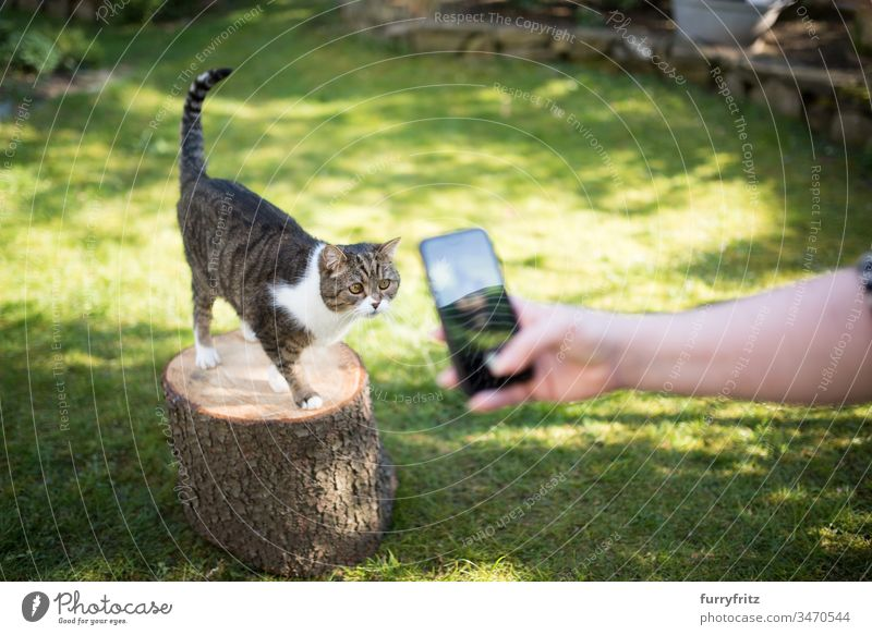 Cat is photographed in the garden with a smartphone for social media Take a photo social networks Garden Looking Cute Fluffy Pelt Kitten Longhaired cat pets