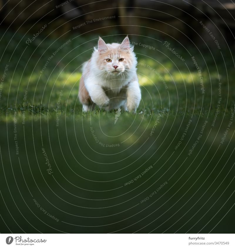 Maine Coon cat ready to attack Running Cat look into the camera Garden Fawn Beige Cream Tabby Longhaired cat purebred cat pets Kitten Pelt Fluffy feline