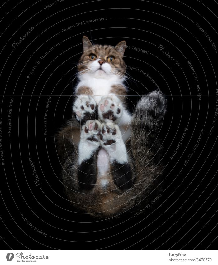bottom view of a white tabby maine coon cat sitting on a window glass panel looking down at camera in front of black background copy space studio shot paw hairy