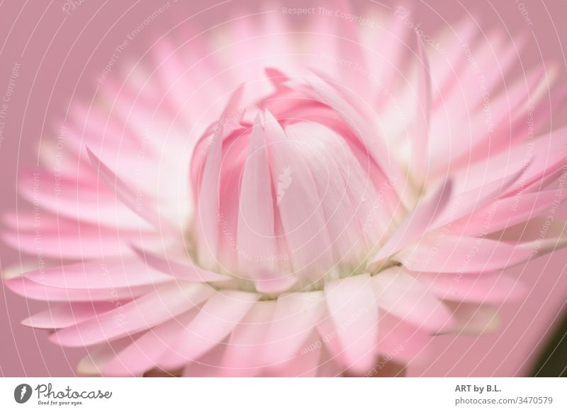 strawflower Flower Paper Daisy Pink Blossom Close-up petals leaves of a strawflower open flourished