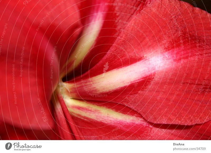 White Red Flower Yellow Blossom leave Houseplant Amaryllis