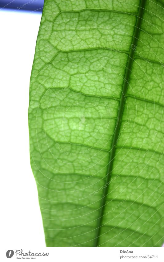 Green cells (1) Life Nature Houseplant Translucent Vessel leaf structure Transparent overlap pattern leaves Colour photo Interior shot Structures and shapes