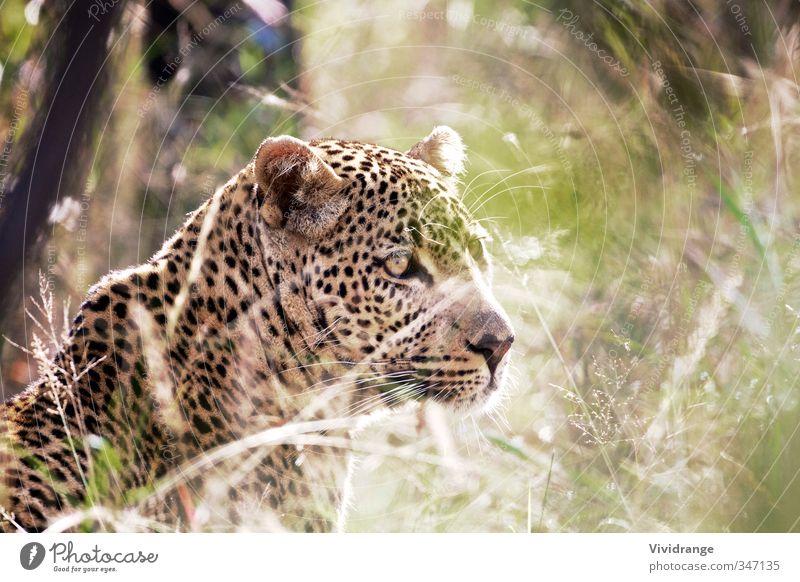 Leopard Vacation & Travel Safari Eyes Zoo Animal Grass Park Wild kruger leopard Mammal national Panthera pardus predator South Africa wildlife Morning Sunbeam