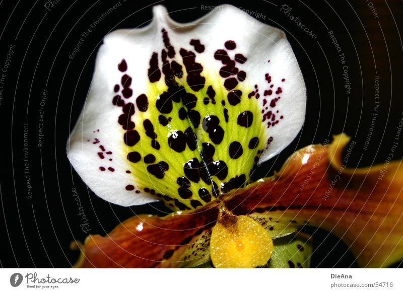 Dotty Dark Nature Flower Orchid Blossom Yellow Violet Orange Red White Dappled Houseplant Magenta Point Patch Pistil blossoms dotty Colour photo Interior shot