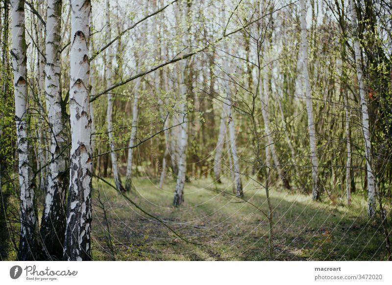 birch forest Birch wood birches Exterior shot Nature Forest Tree Day Environment Birch tree Landscape Deserted Colour photo Spring Forestry