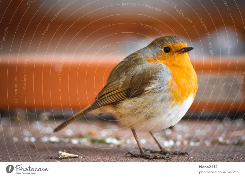 crumb collector Nature Animal Bird 1 Orange Robin redbreast Hop Songbirds Terrace Small Round Cute Colour photo Exterior shot Close-up Detail Deserted