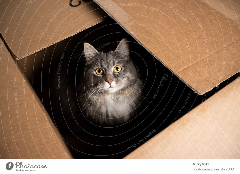 cute Maine Coon cat sits in a cardboard box and looks into the camera Cat One animal indoors pets purebred cat Longhaired cat blue blotched Gray White Pelt