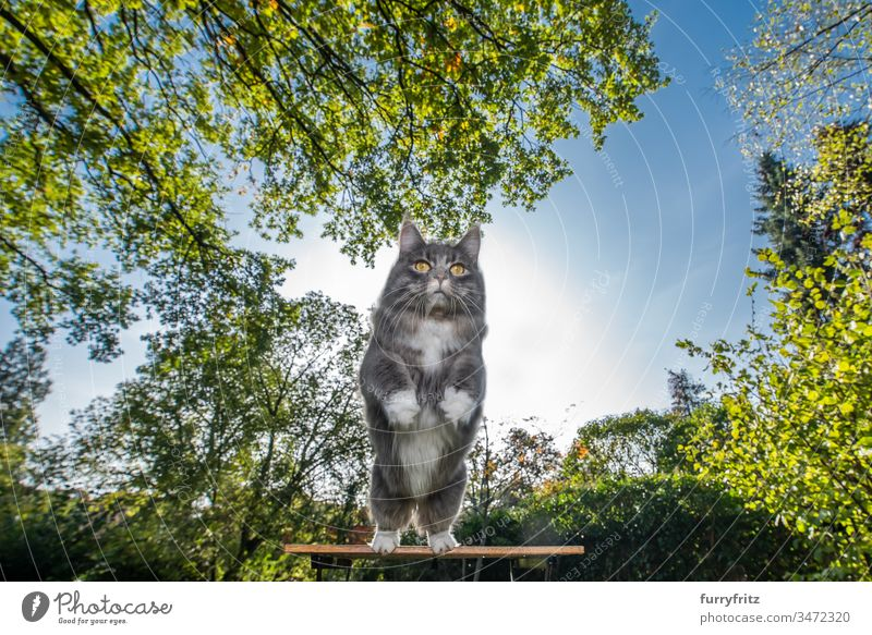 blue tabby maine coon cat with white paws jumping away from table outdoors in nature on a sunny day with clear sky one animal plants leaves front or backyard