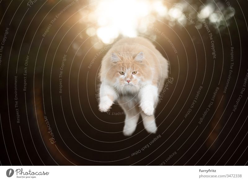 cream tabby white maine coon cat outdoors jumping in the air with sun in the background one animal flying mid air levitation trick artistic hunting focused pets