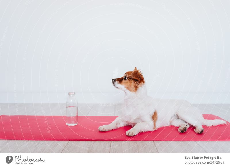 cute small jack russell dog lying on a yoga mat at home. Bottle of water besides. Healthy lifestyle indoors woman pet together sport exercise healthy female