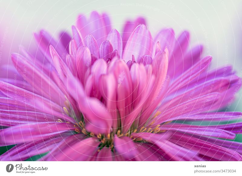 Aster flower in pink against a light background Blossom Flower Pink Plant Blossoming Close-up Detail Garden Summer Neutral Background Shallow depth of field