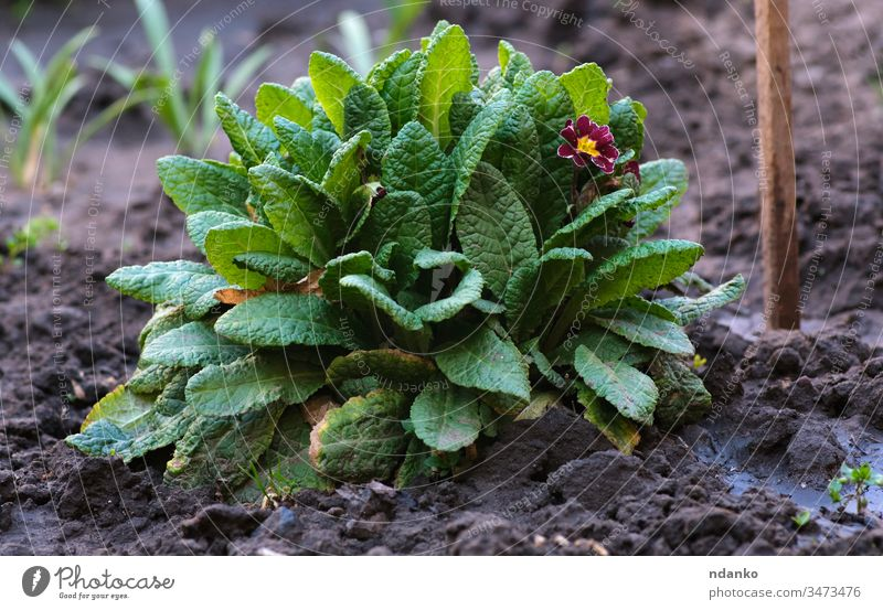 bush with large green leaves and red flowers Primula acaulis springtime growing day petal season primula growth bunch botanical beautiful beauty bloom blooming