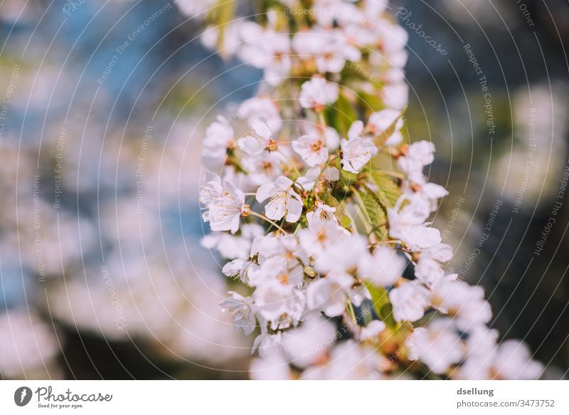 Flowerage in white Flowering plant Blossom petals blossoms White Delicate Spring Blossom leave Deserted Exterior shot Nature Plant Detail Colour photo Beautiful