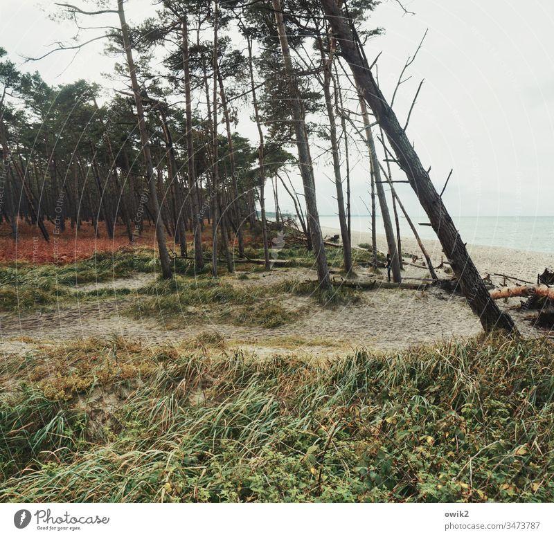 Social imbalance Wind cripple Darss Western Beach Coast Baltic Sea Landscape Nature Tree Environment Exterior shot Plant Deserted Grass Sky skew Ocean Horizon
