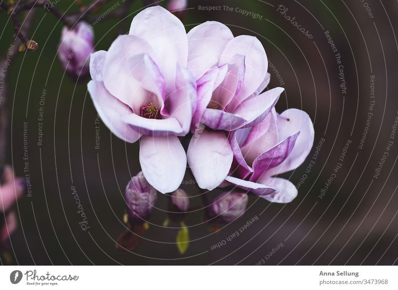 Magnolia blossom spring, pink inpainting on dark background magnolia Magnolia tree Blossom Pink purple Spring Exterior shot Colour photo Plant Blossoming Growth