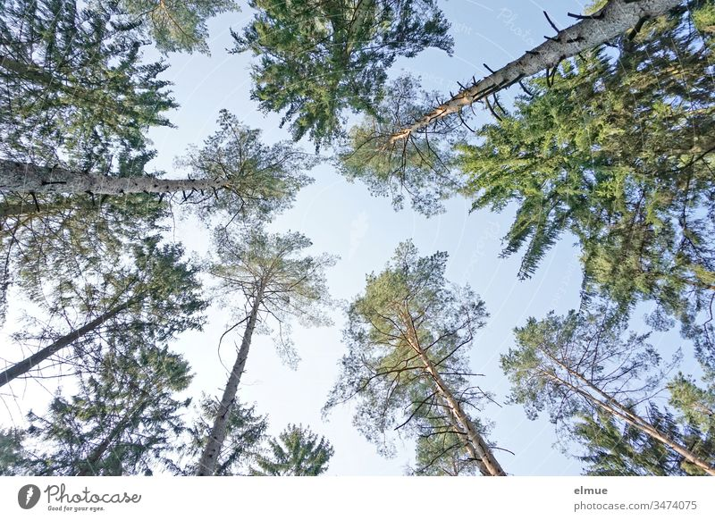 numerous coniferous tree tops from the frog's perspective with blue sky Coniferous trees Worm's-eye view Forest upstairs Green Blue Sky Skyward trunk Needle