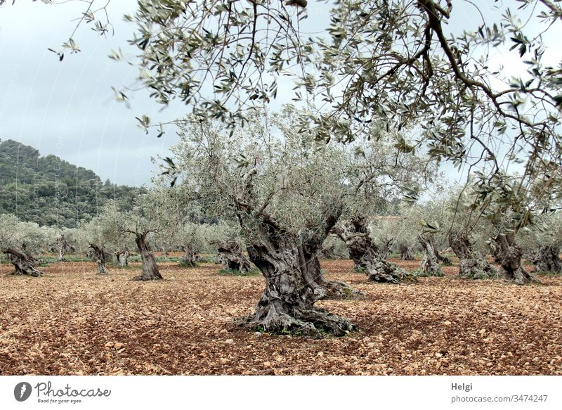 ancient gnarled olive trees in an olive grove Olive tree Olive grove Landscape Environment Nature Tree Agricultural crop Exterior shot Colour photo Deserted