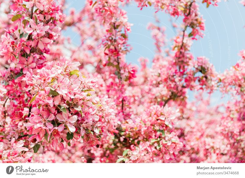 Beautiful blooming cherry blossom in spring time april background beautiful blossoming botanical botany branch bright bud closeup delicate depth detail dreamy
