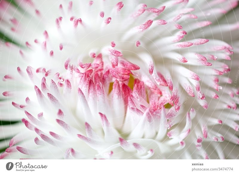 Macro shot: closed large daisy in white and pink Daisy Blossom Made to measure Flower White Pink Tongue blossoms Spring Plant Studio shot Beautiful