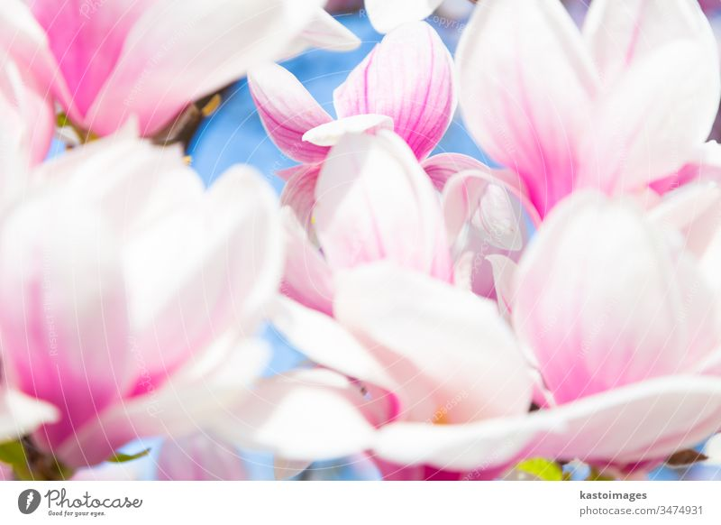 Beautiful magnolia tree blossom in spring time. flower bloom april background beautiful beauty botanical botany branch bud closeup colorful decorative delicate