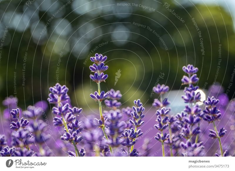 Field of lavender flowers (lavandula angustifolia) Flower agriculture aromatherapy aromatic background bloom blooming blossom close up close-up closeup color