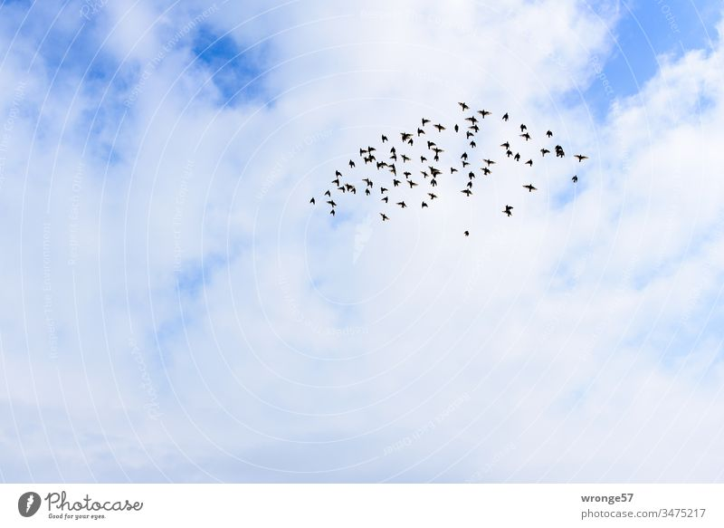 Sound | wing beat of a flock of birds in the sky Bird Flock of birds Flying flapping Sky Exterior shot Deserted Colour photo Day Clouds Nature Animal