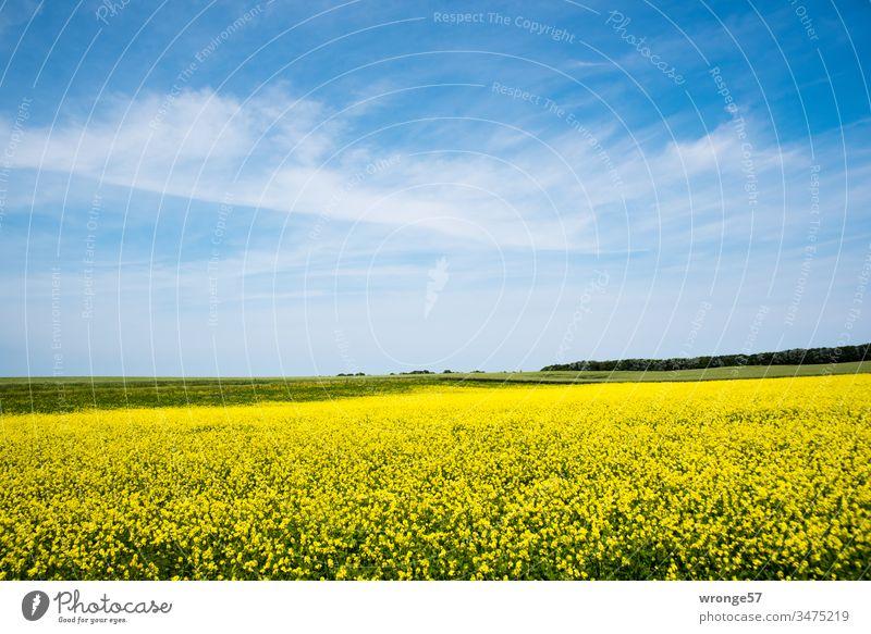 Blossoming rape field under a blue sky with delicate clouds on the island of Rügen Canola field Oilseed rape flower Yellow sunshine Beautiful weather Landscape