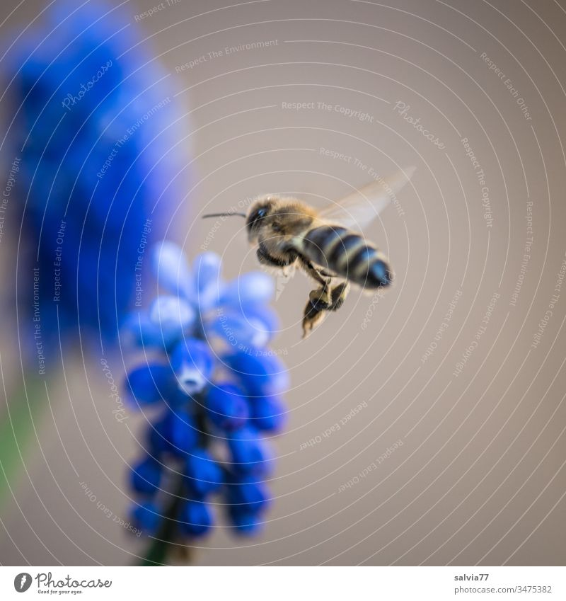 Sound | bee buzz Bee Flying Nature Insect Flower Plant Blossom Exterior shot Summer Colour photo Garden Deserted Spring Blossoming Shallow depth of field