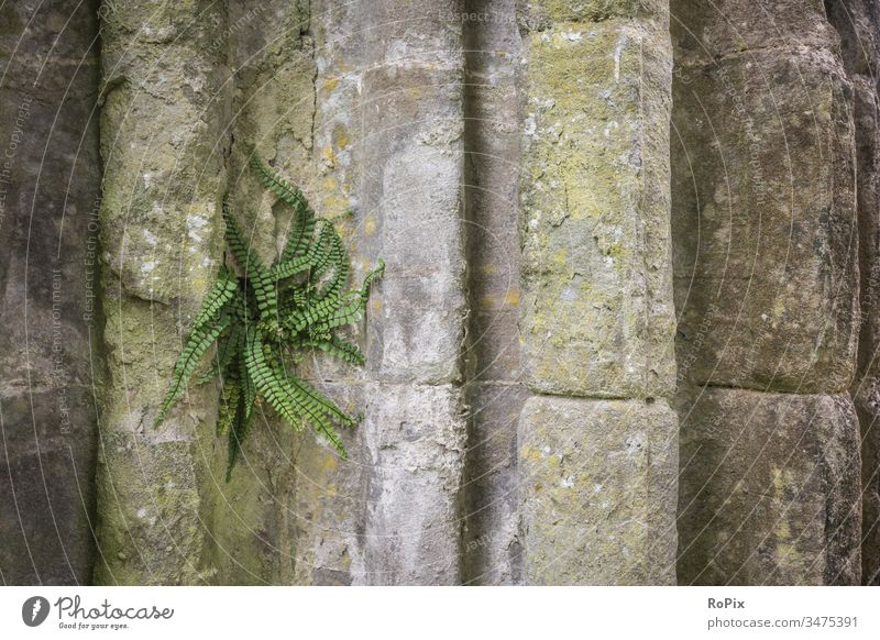 Fern on the wall of a Scottish abbey. Wall (barrier) stone blocks Wall (building) rampart Fortress Sandstone Architecture City wall Town urban Truck castle