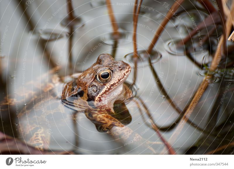Looking for food Environment Nature Animal Spring Summer Pond Lake Frog 1 Hang Swimming & Bathing Wait Painted frog Brown Colour photo Close-up Detail Deserted