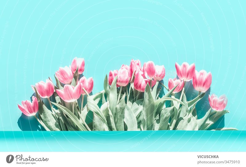 Pretty pink pale tulips flowers bunch at turquoise blue background. pretty above abstract banner beautiful beauty blossom bouquet card celebration composition