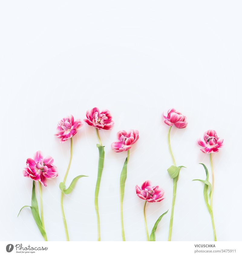Delicate pink tulips with stems and leaves on white background. Floral border. Springtime concept. Mother day greeting card. Beauty delicate floral springtime