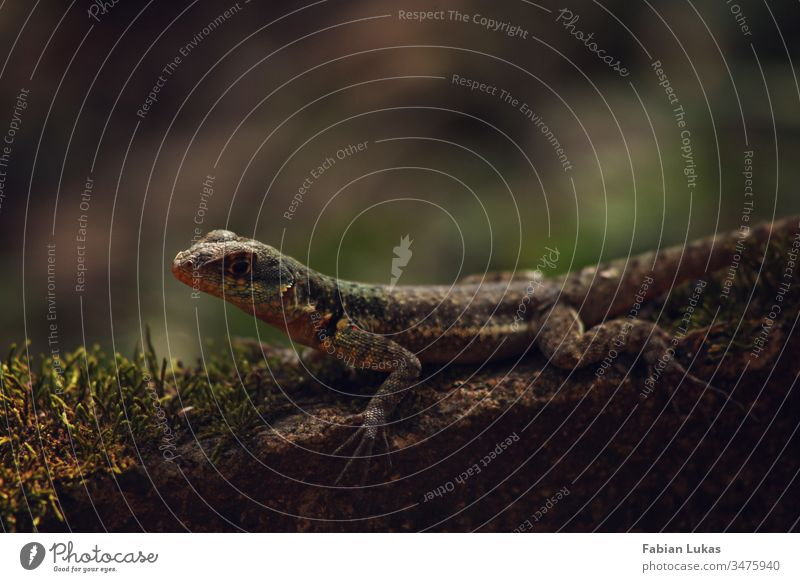Lizard on stone with moss lizard Stone Moss Forest Nature Exterior shot Reptiles Colour photo Close-up Green