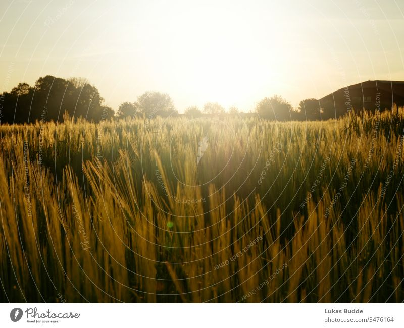 cornfield / field with a nice sunset in Bavaria, Germany Crops landscape sky nature wheat summer grass agriculture meadow farm sunrise green rural countryside