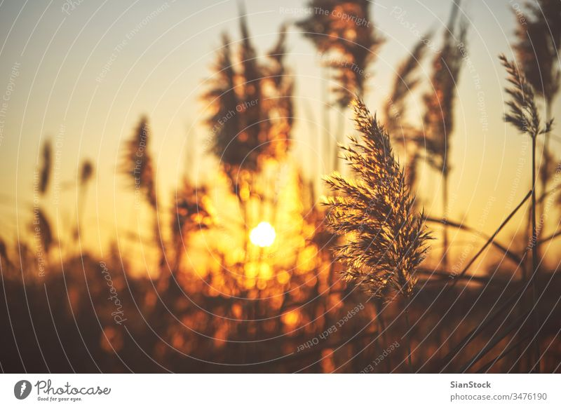 Common reed (phragmites) on sunset common nature natural plant grass autumn light background golden communis sunny beautiful sunlight red water spring orange