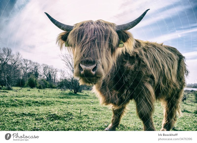 Scottish longhorn Beef Galloways Scotland Exterior shot Colour photo Nature Animal Cow Deserted Landscape Animal portrait Brown Grass Farm animal Sky