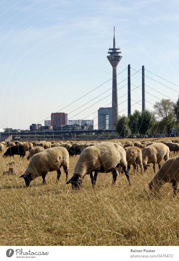 Climate change: flock of sheep on a dry field in Düsseldorf, Germany climate change extreme weather heat heat wave drought dried up city