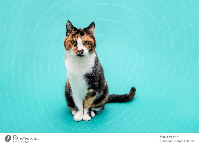 Lucy 2.0 Cat Stand standing Animal Pet Colour photo 1 Deserted Contentment Animal portrait Forward Looking into the camera Studio shot colored background