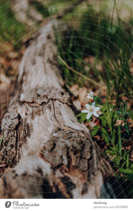 White flower blooms next to a fallen tree trunk Flower Spring Spring flower Spring day Spring colours Spring fever Wood anemone Blossom Nature Plant Day Garden