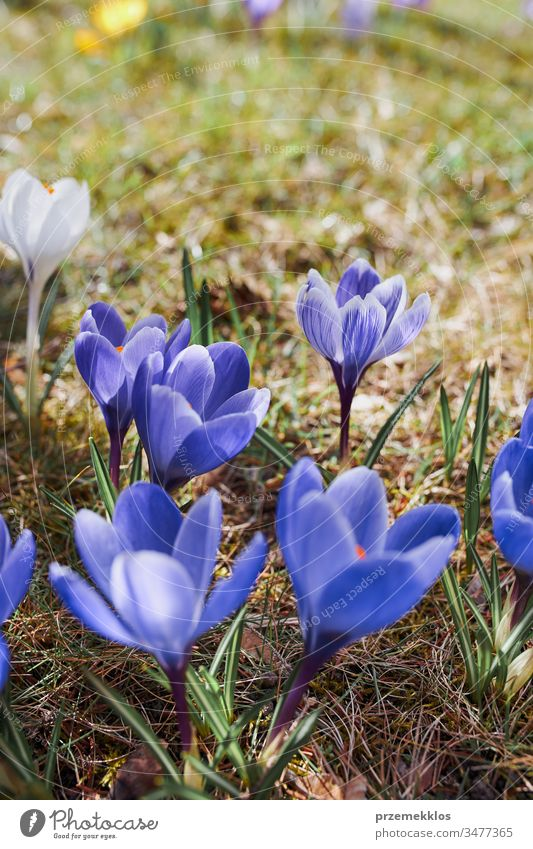 Crocuses wildflowers blooming at the beginning of spring awakening of spring crocus blue park change floral beauty violet garden nature close early pretty