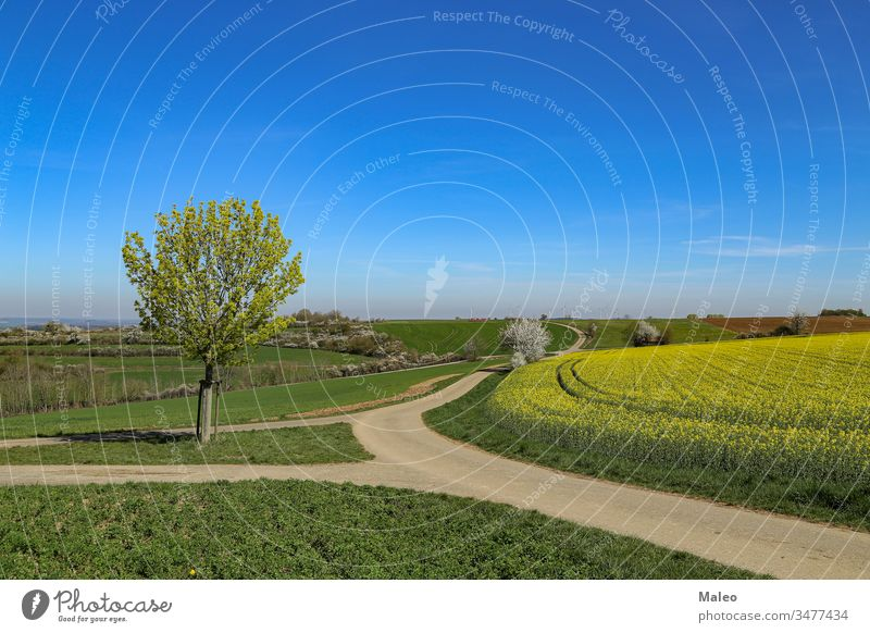 Spring landscape. Cultivated colorful raps field in Germany. floral rappi natural blossom seed country farmland eco horizon sunny panorama agriculture