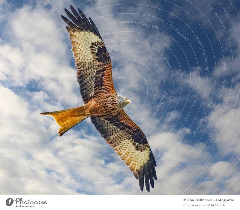 Red Kite in flight Red kite milvus milvus Bird of prey Bird in flight Head Beak Eyes Grand piano feathers plumage flapping Wing span Sky Clouds Sun sunshine