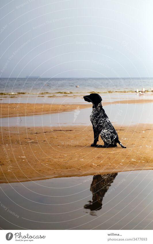 Hunting dog German Shorthair sitting on sandbank Dog Hound Sandbank Baltic Sea Sit reflection Animal pointing dog Black