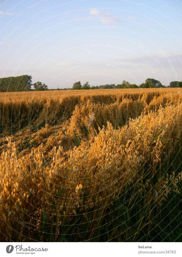 Nature Sky Tree Green Landscape Moody Field Gold Grain Cornfield Mood lighting